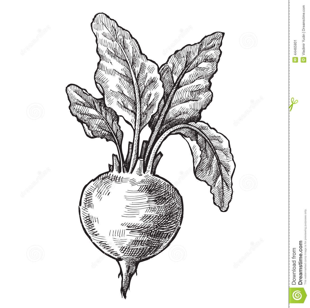 jpg transparent stock Beets drawing music. Black and white botanical
