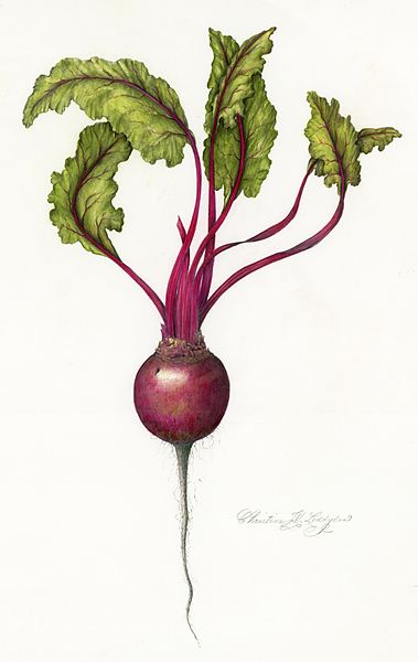 banner library stock Beets drawing face. Favorite illustration of beet