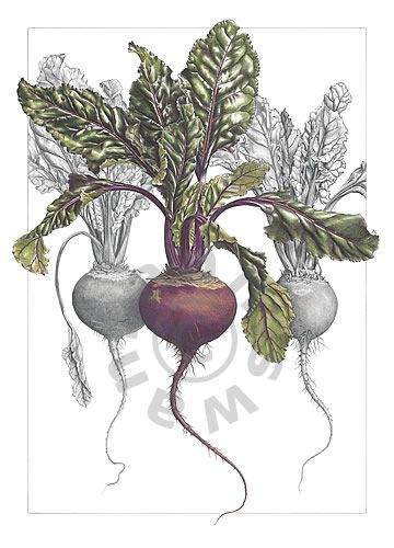 clipart stock Ann swan beetroot trio. Beet drawing botanical illustration