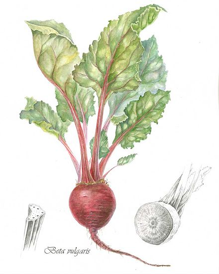 jpg black and white stock Beets in drawings vegetable. Beet drawing botanical illustration