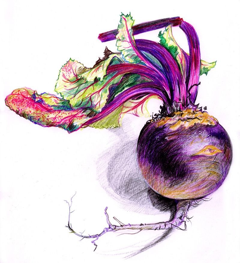 graphic royalty free library Beet drawing colored pencil. Pin on drawings with