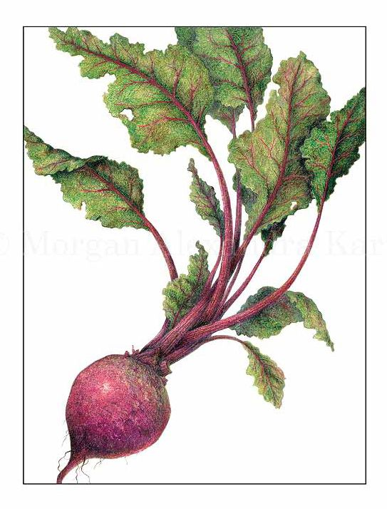 clipart royalty free Beet drawing colored pencil. Detroit dark red chenopodiaceae