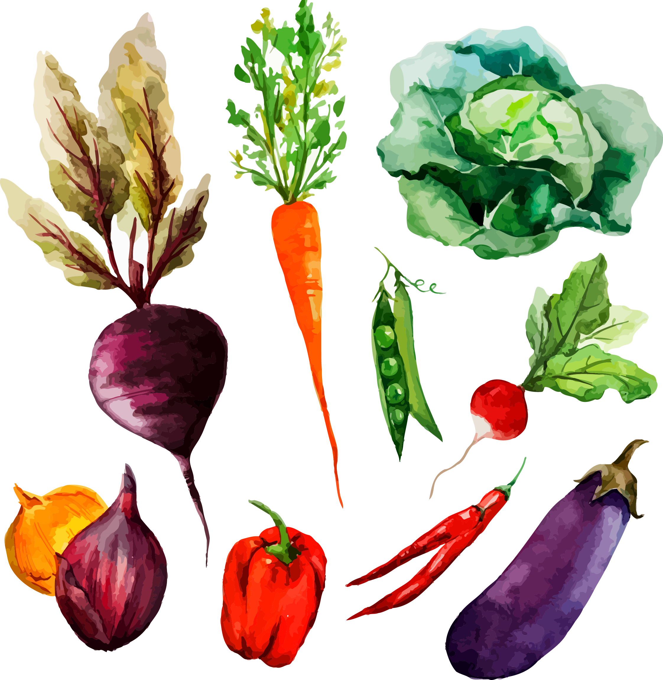png freeuse library Watercolor painting vegetable illustration. Beet drawing hand drawn