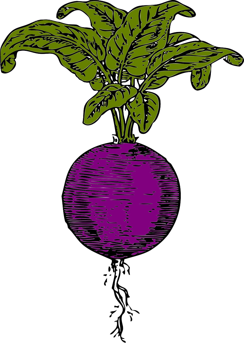 banner free library Beet drawing hand drawn. Sugar beetroot vegetable clip