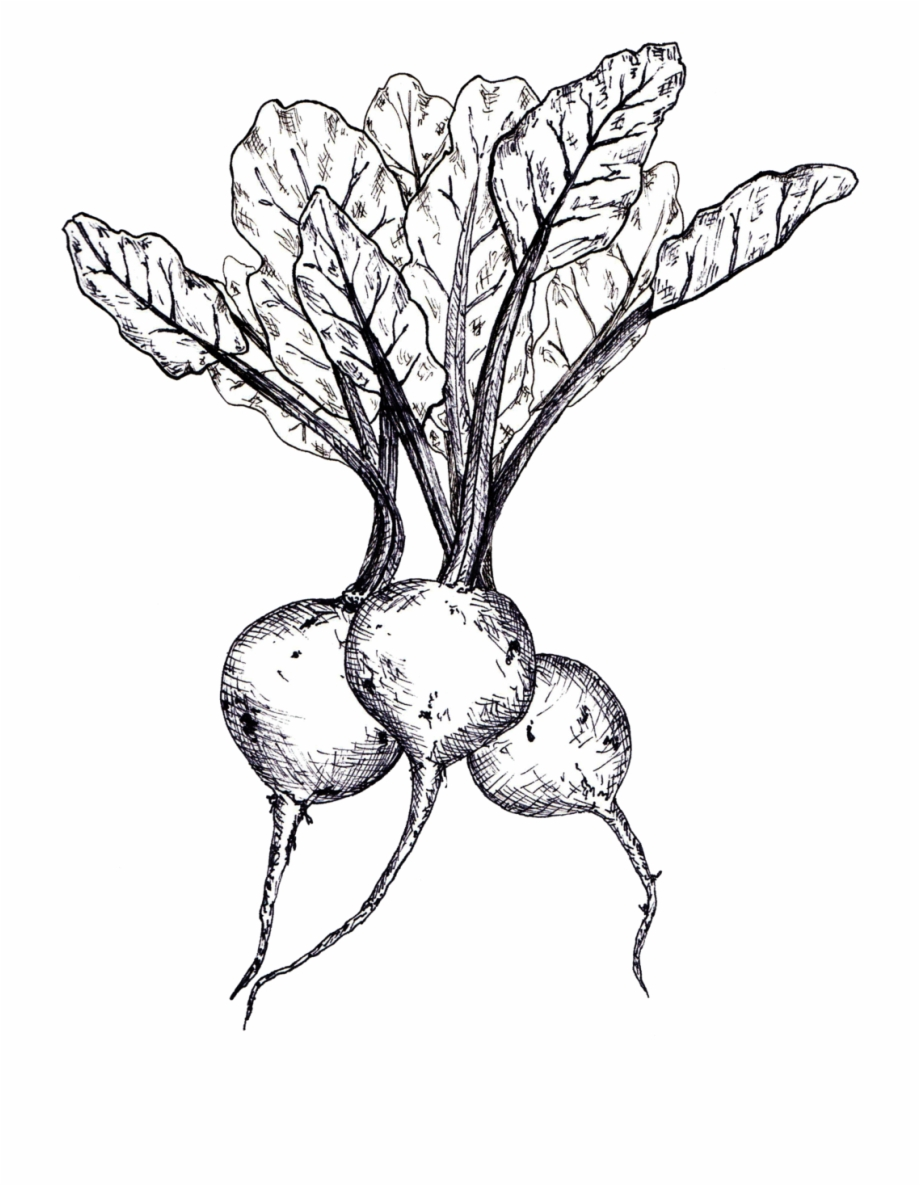 image royalty free library Beet drawing line. Beets linedrawing free png