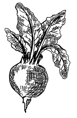 clipart transparent library The root cellar fresh. Beet drawing line