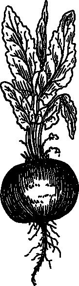 free Beet root clip art. Beets drawing rap