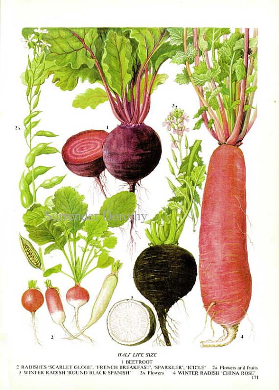 picture freeuse download Chart root vegetable food. Beet drawing radish