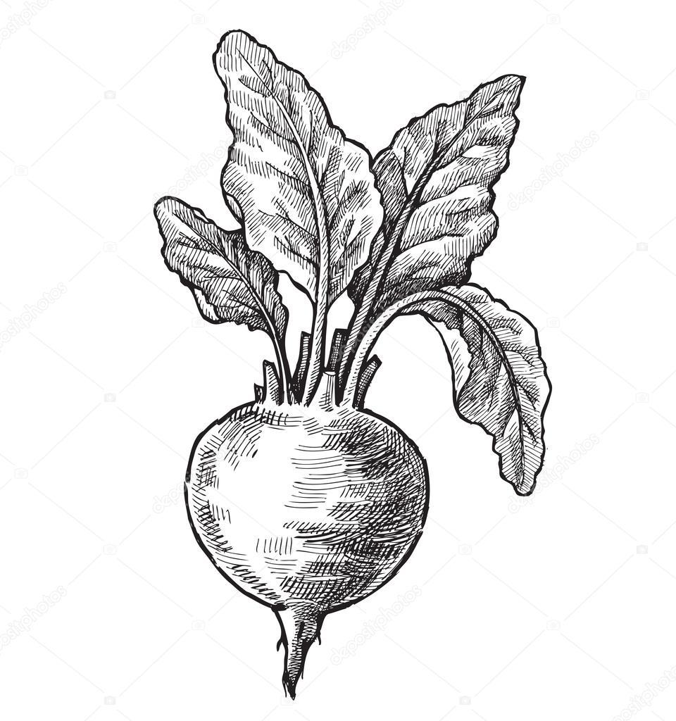 svg royalty free download  beets for free. Beet drawing radish