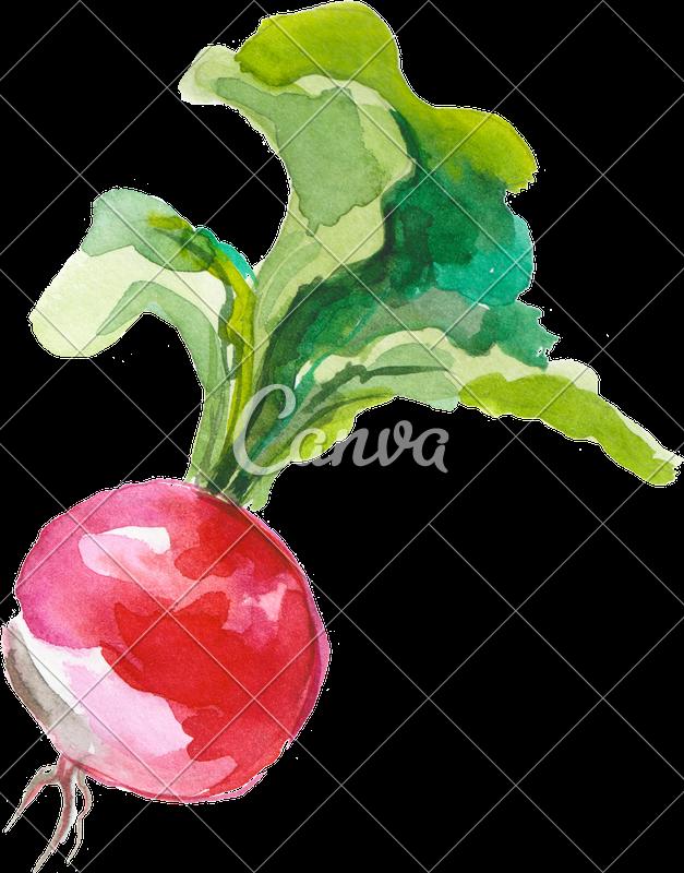 vector freeuse download Watercolor photos by canva. Beet drawing radish
