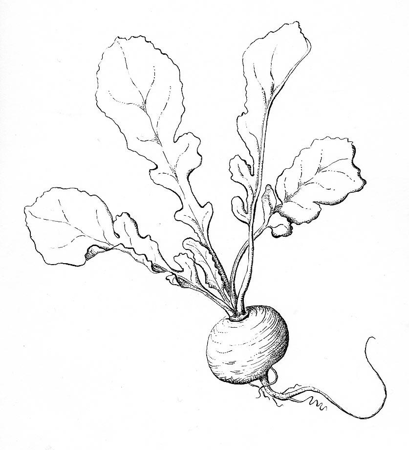 svg royalty free download Beet drawing radish.  beets for free