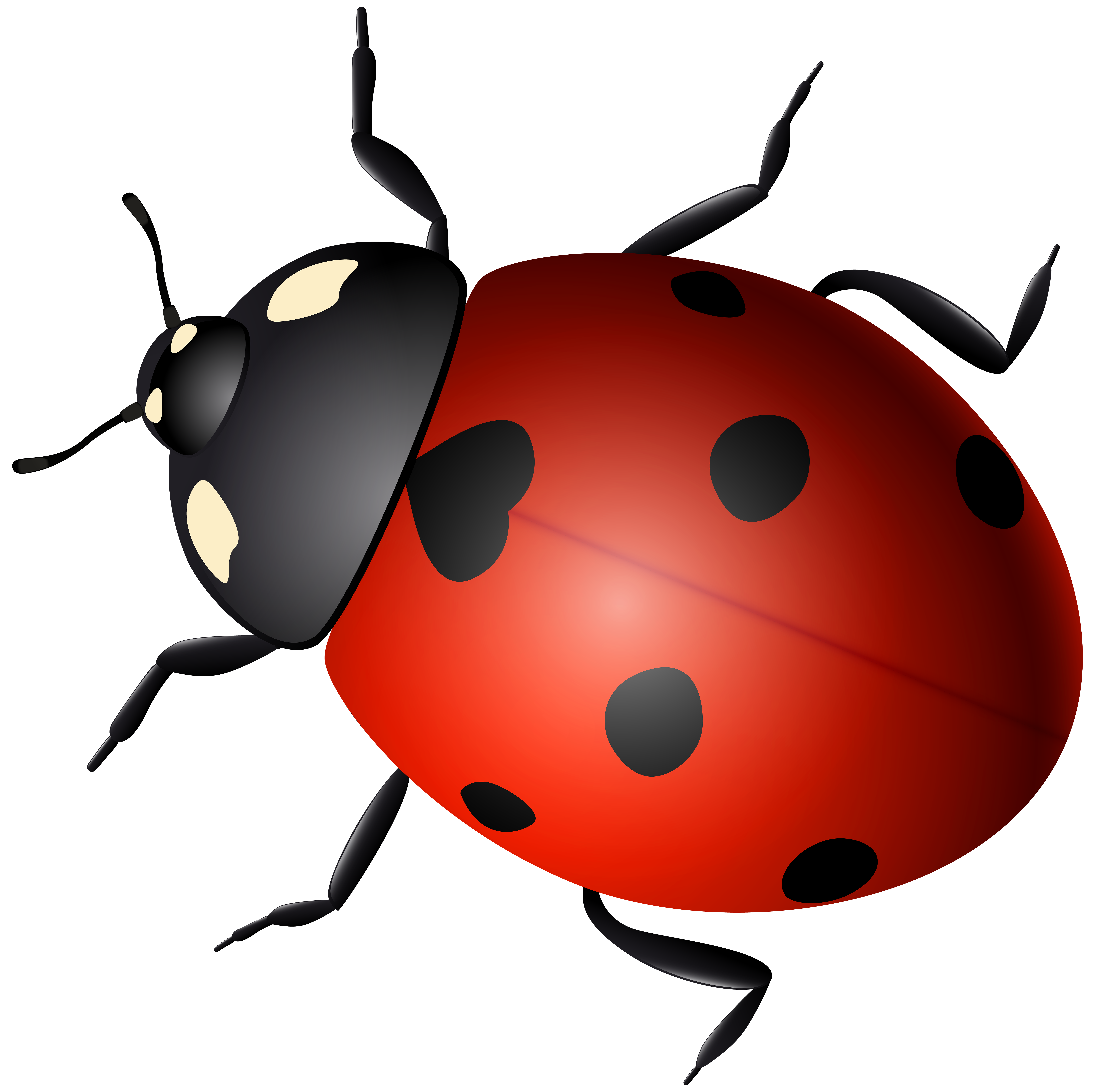 freeuse stock Ladybird clip art transprent. Beetle clipart arthropod.