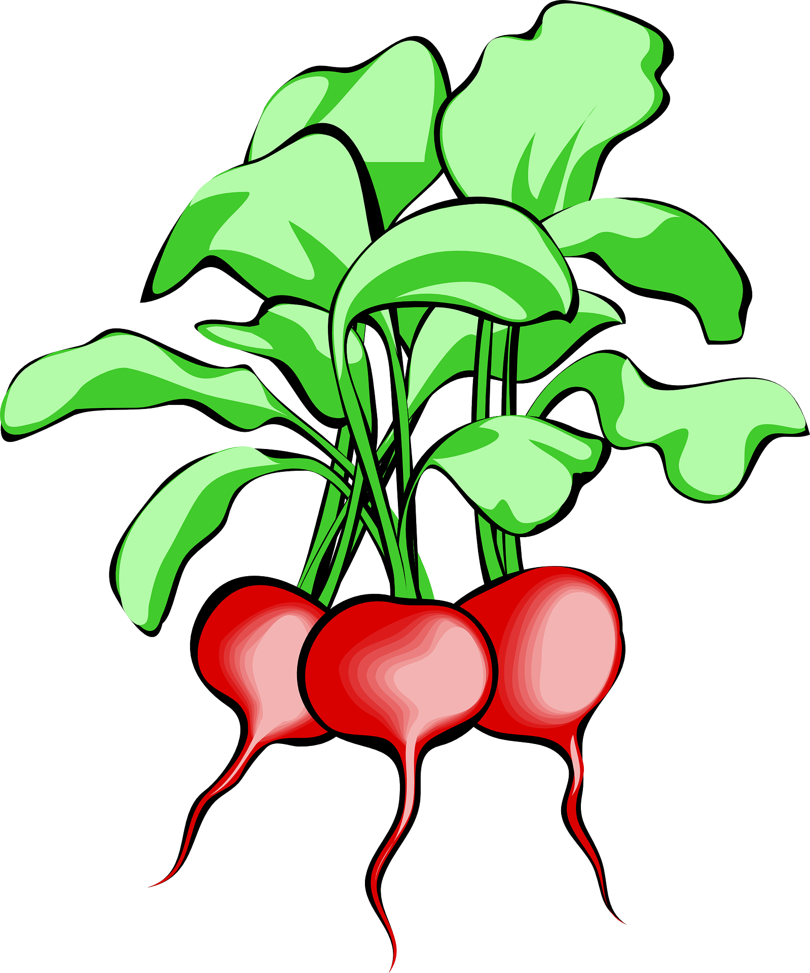 clip download Beets drawing. Of beetroot vegetables free
