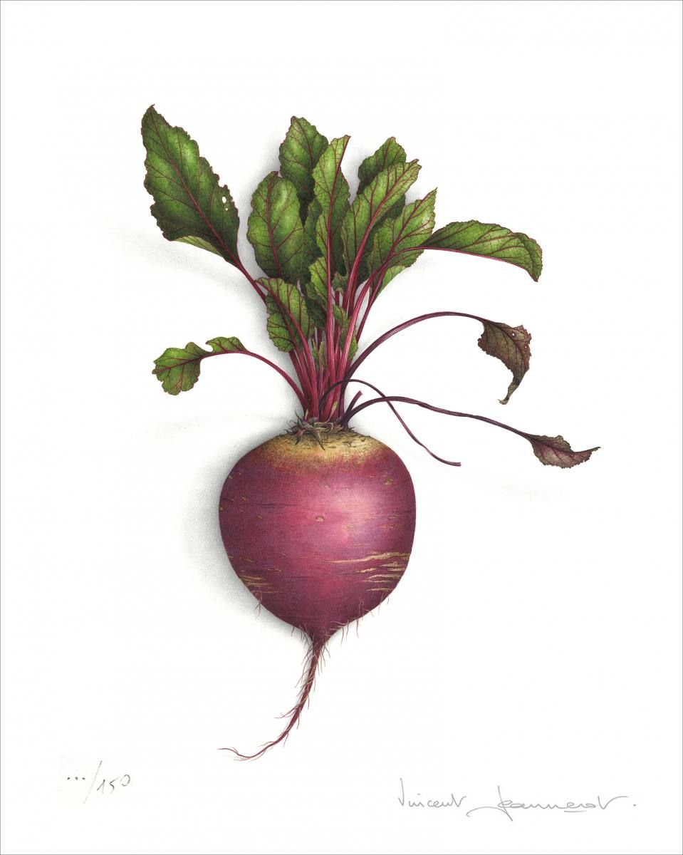 clip freeuse library Watercolor beetroot art journals. Beets drawing visual
