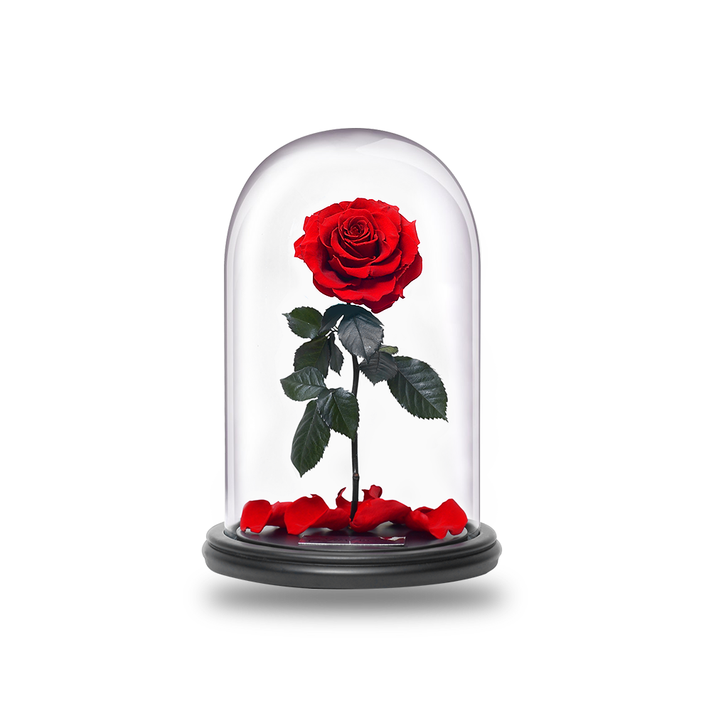 royalty free stock Belle transparent rose. S justroses belles