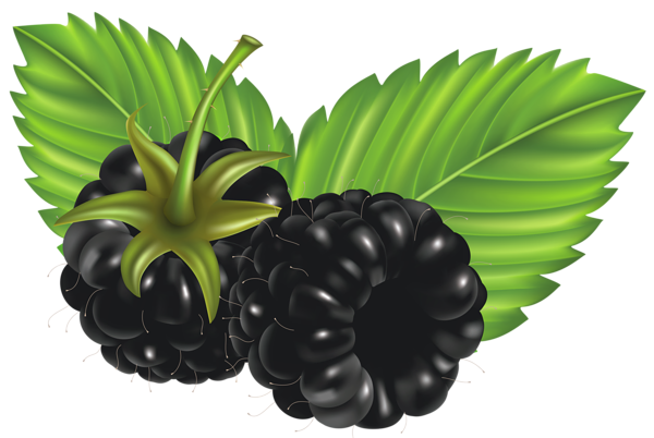 banner freeuse download Blackberry drawing painting. Blackberries png vector clipart