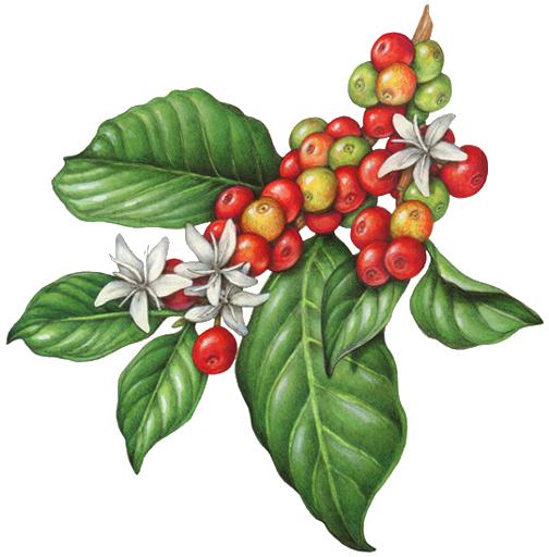 clipart freeuse bean plant clipart #57871496