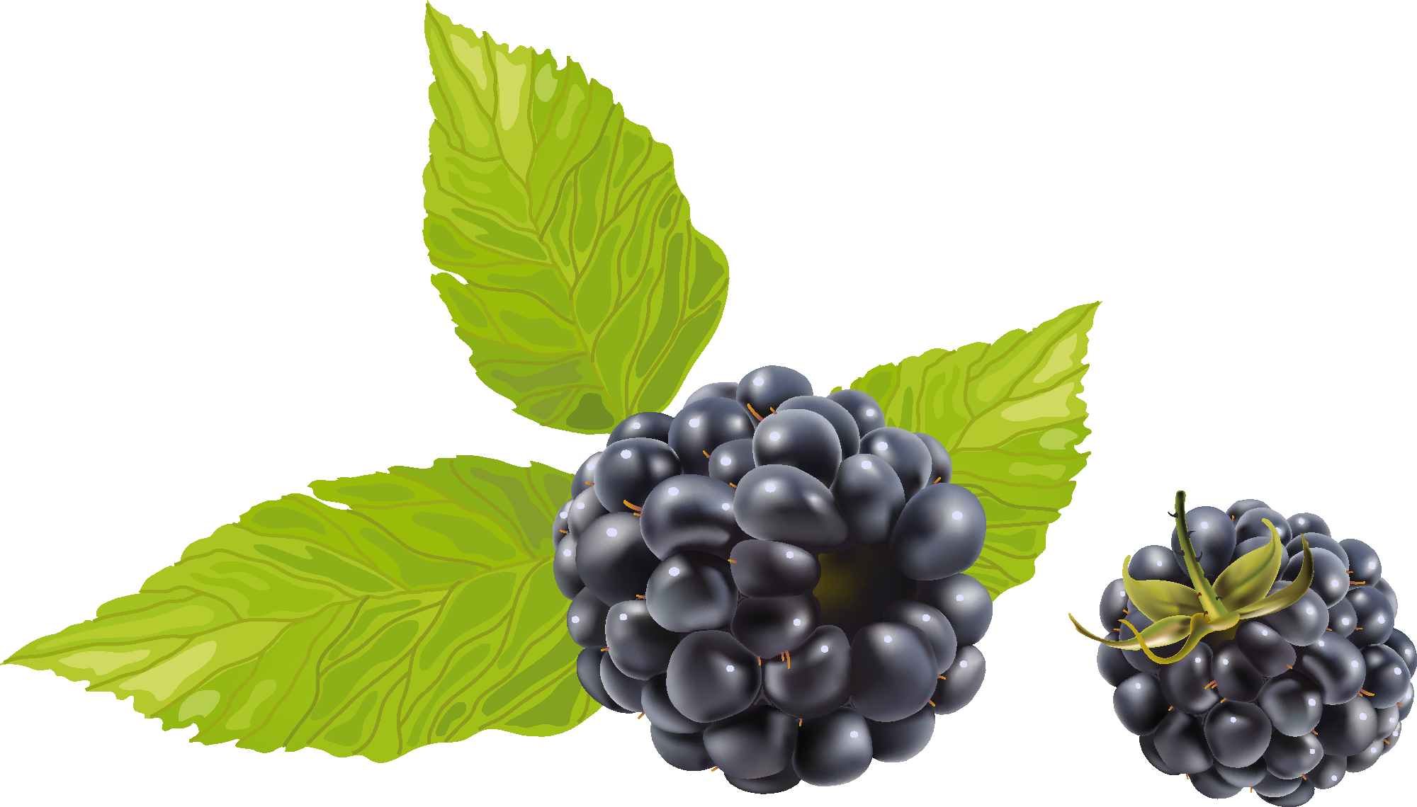 jpg royalty free download With leaves png image. Blackberry drawing juicy