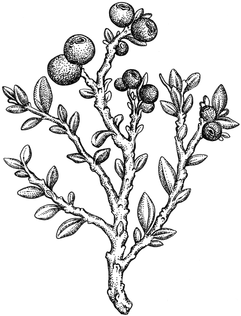 image royalty free stock berries drawing berry tree #90076468