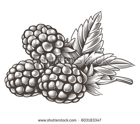 png library stock Blackberry drawing sketch. Fruit at paintingvalley com