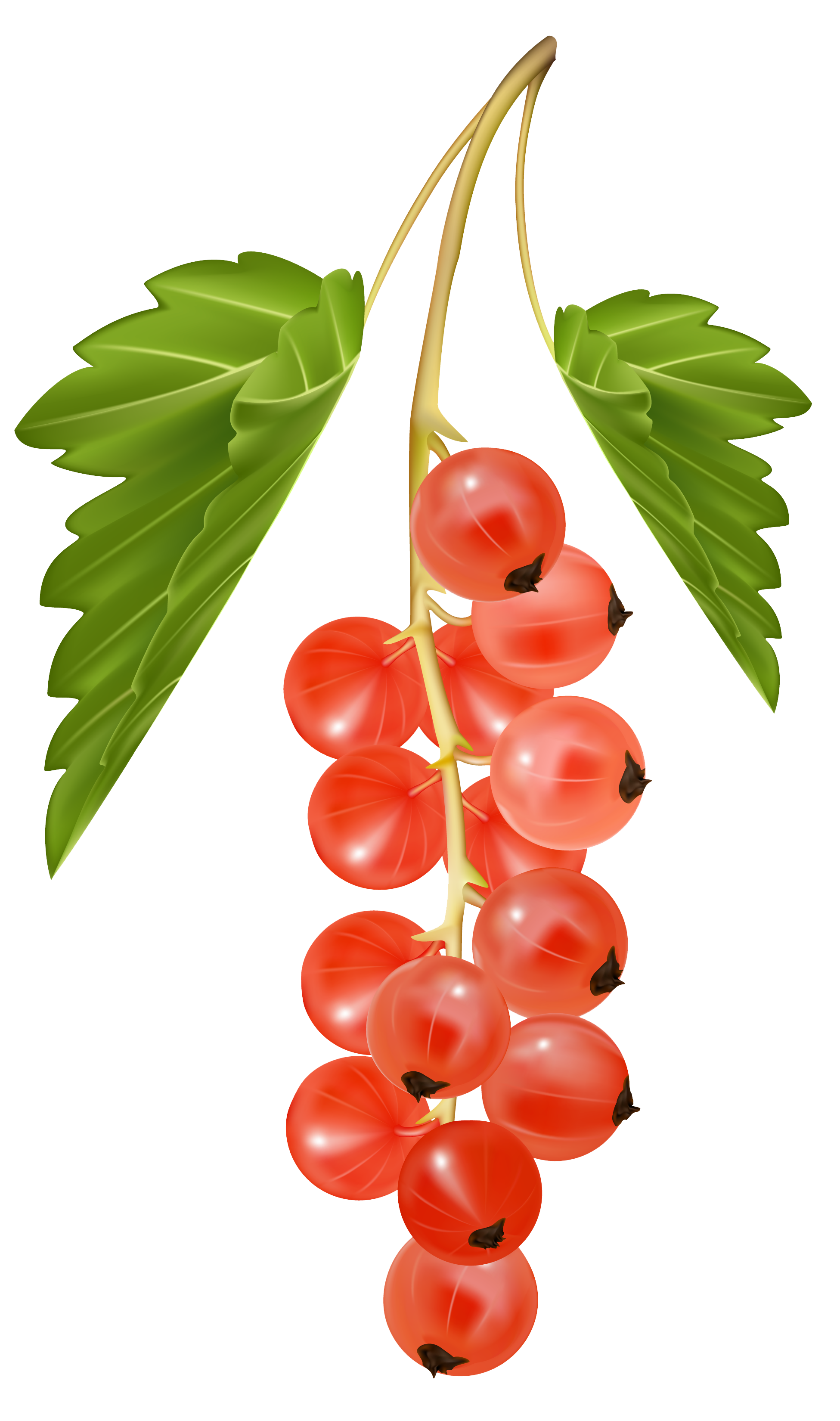 clip freeuse library Currants