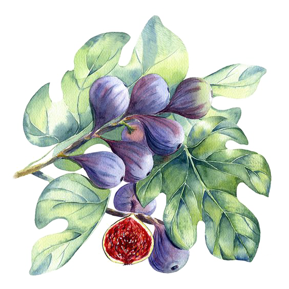 clip art free Watercolor painting Common fig