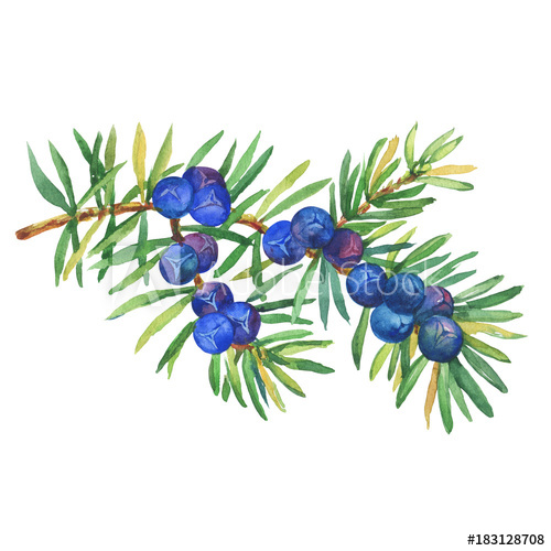 jpg royalty free library Berry clipart juniper berry. Branch of plant juniperus.