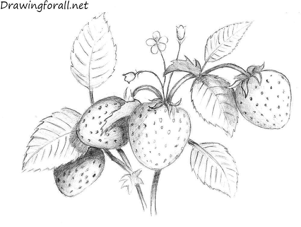 banner free stock How to draw a. Drawing strawberries detailed