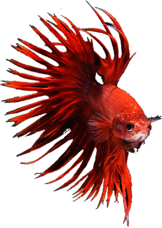 picture royalty free library betta bettafish bettasplendens red crowntail crowntailm