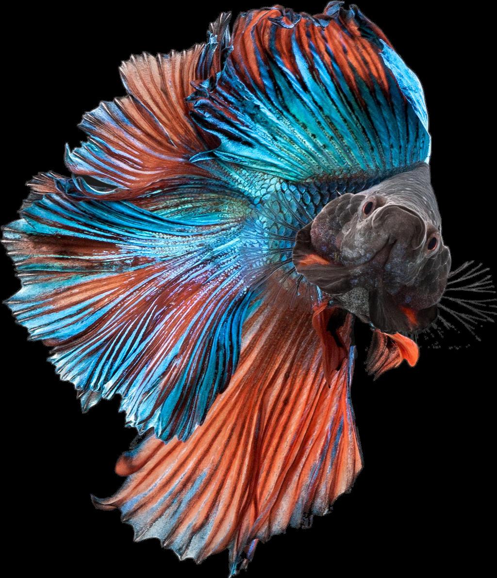 clipart black and white download betta fish bettasplendens bettafish blue orange fancy