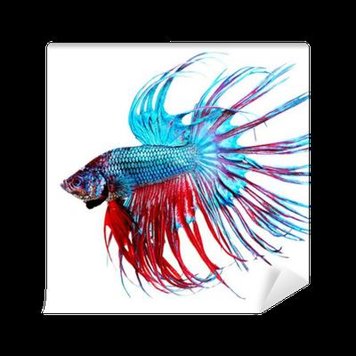 clip free download Betta Fish closeup