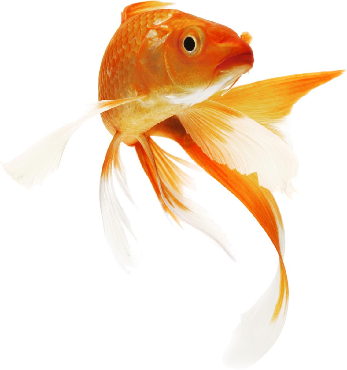 clipart royalty free betta drawing goldfish #90103496