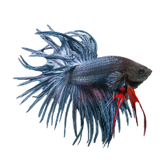 graphic royalty free Popular and Trending betta fish Stickers on PicsArt