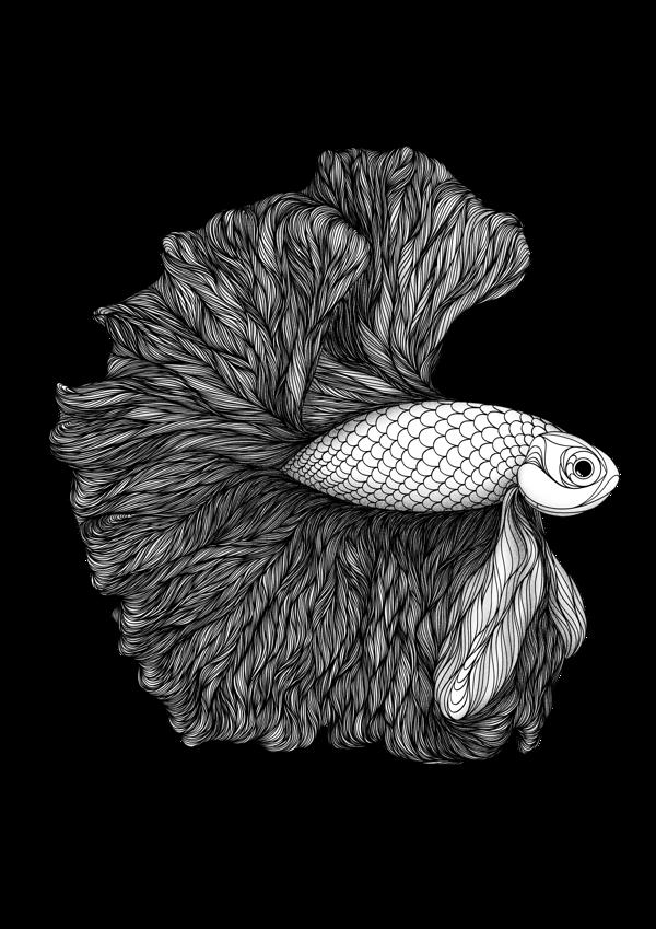 image stock Siamese Fighting Fish