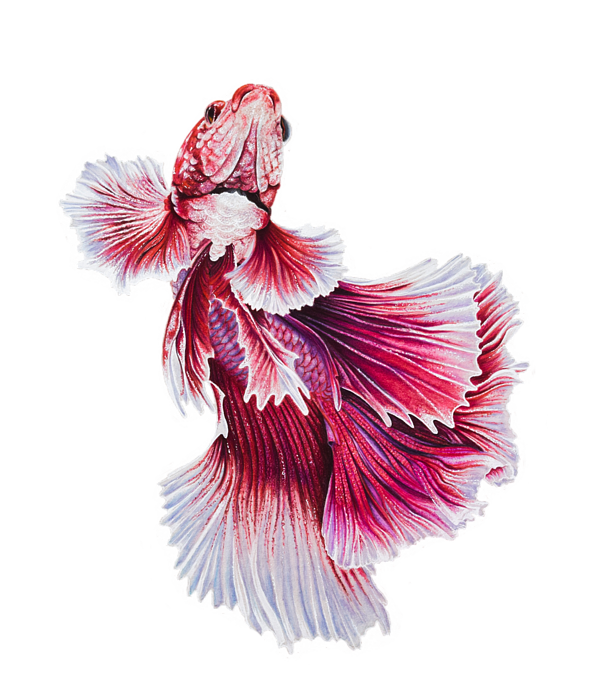 clip freeuse download Pink Betta Fish Spiral Notebook for Sale by Biophilic Art