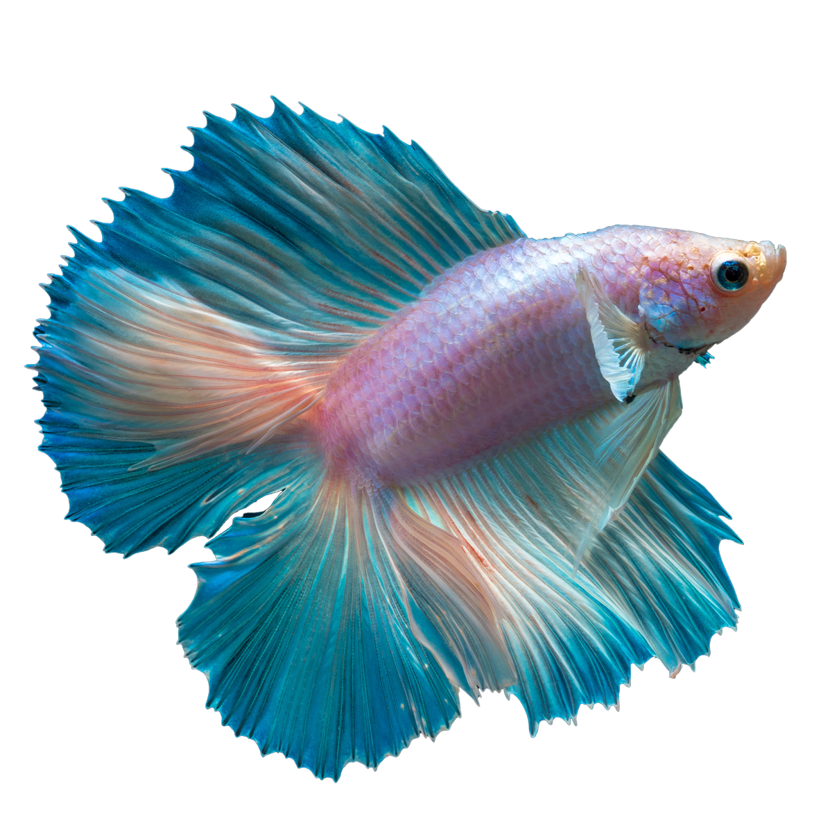 jpg royalty free download Betta PNG Clipart