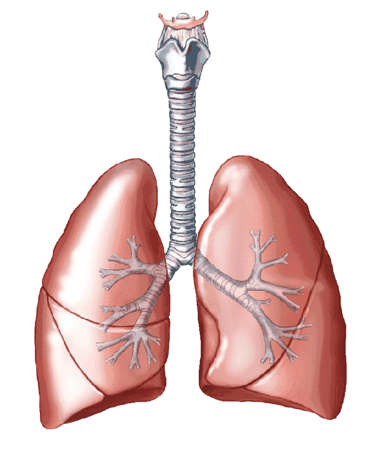 png library library Biology clipart respiratory disease. Lungs png transparent images.