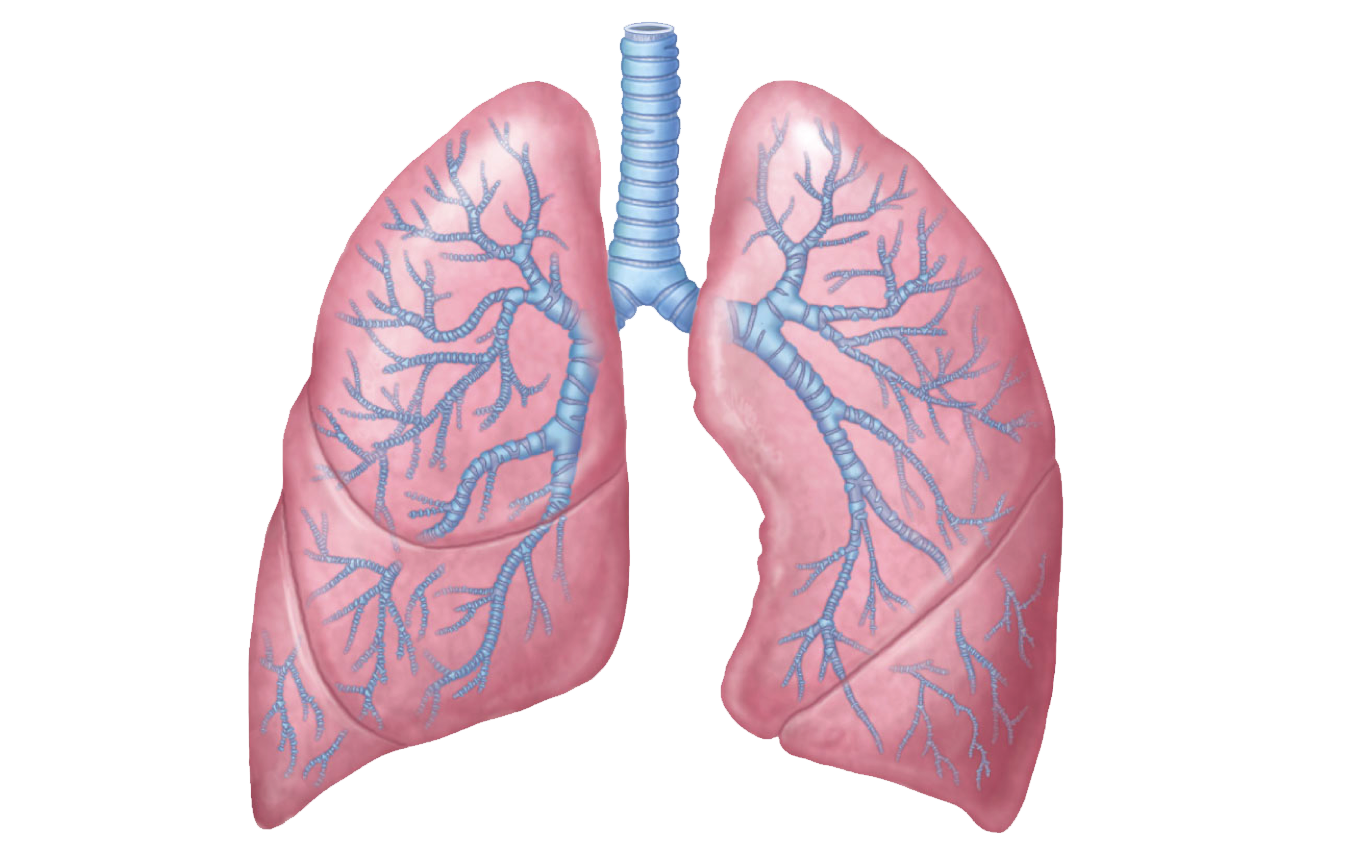clipart black and white library Lungs png transparent images. Biology clipart respiratory disease.