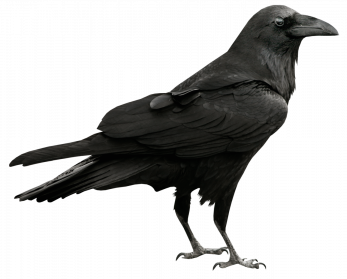 png black and white Raven Clipart raven bird