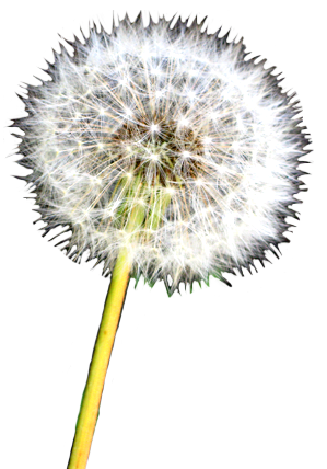 stock Dandelions drawing realistic. Flower image gallery useful