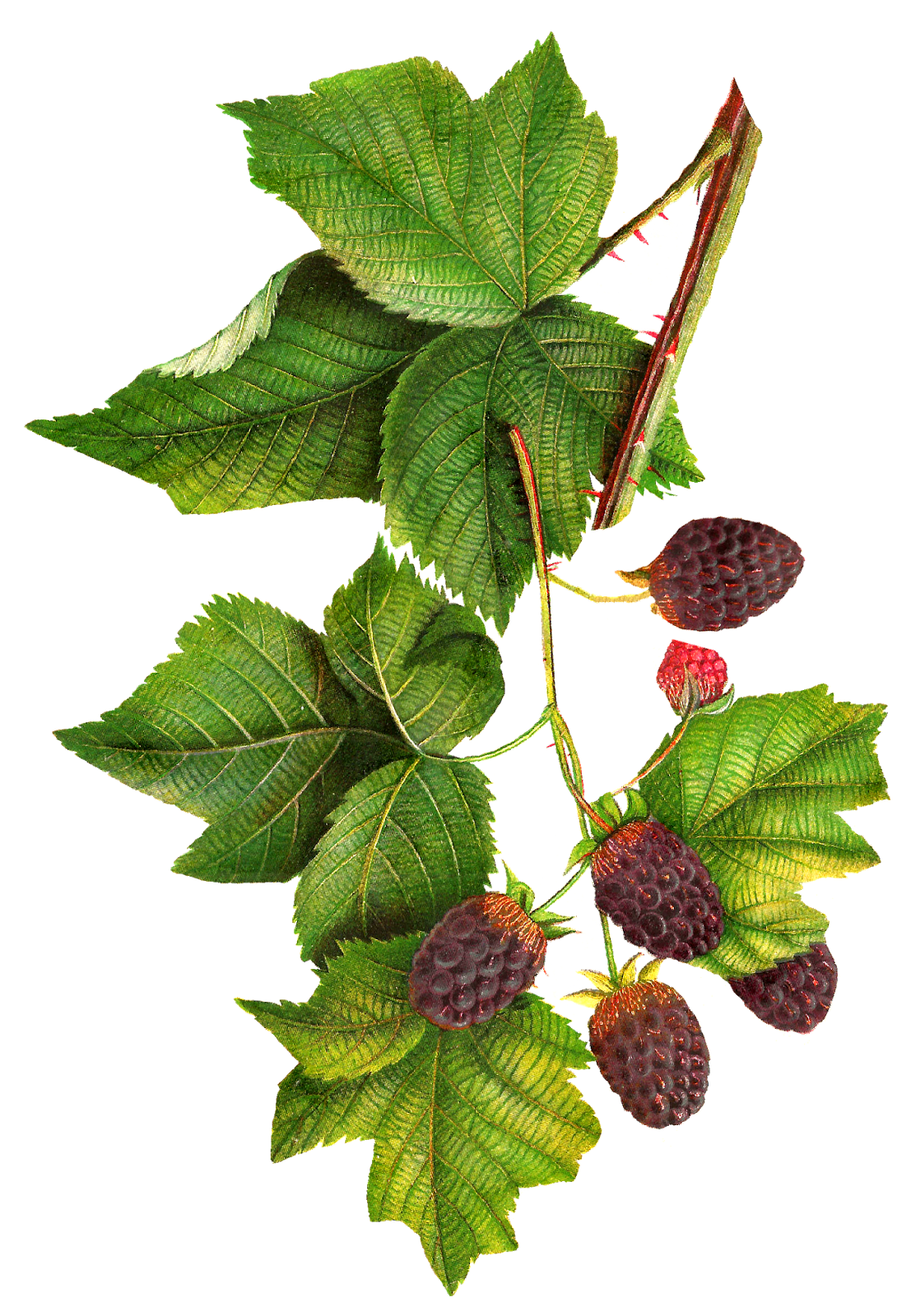 free  collection of jam. Blackberry drawing bush