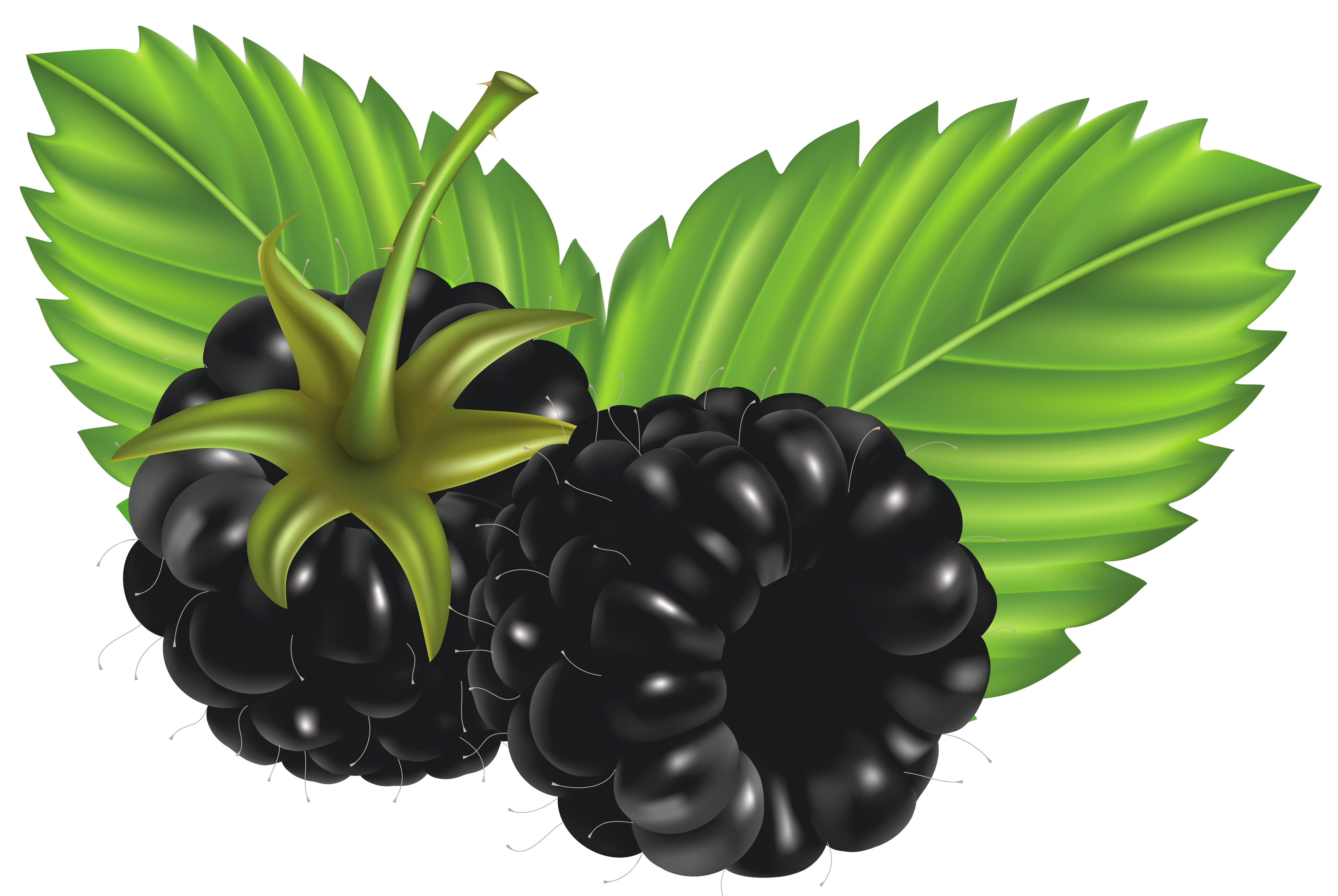 image download  collection of clipart. Blackberry drawing bush