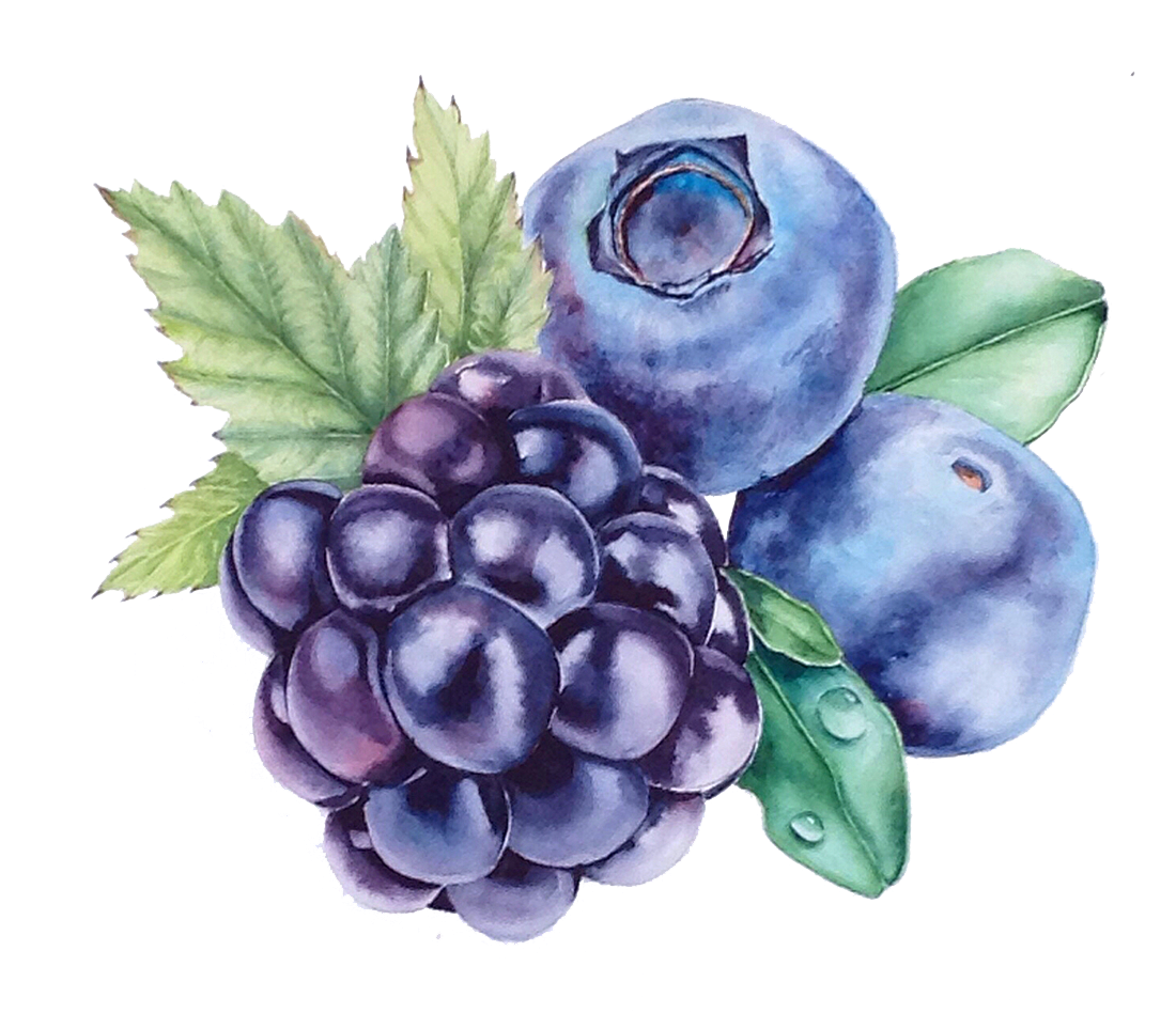 clipart royalty free library Grape watercolor painting bilberry. Blackberry drawing blueberry