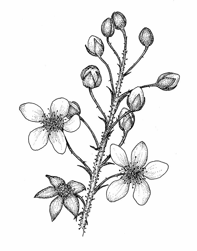 picture freeuse Blackberry drawing flower. Rubus allegheniensis common go