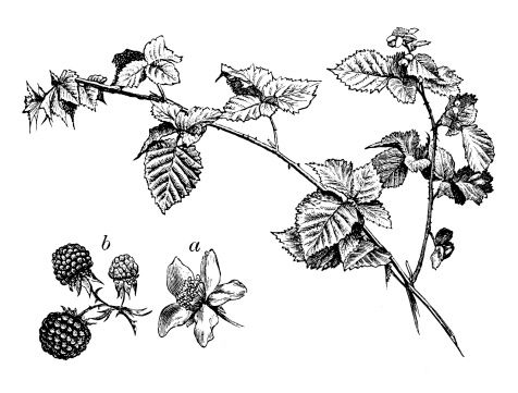 png library Pin on aeon flux. Blackberry drawing flower