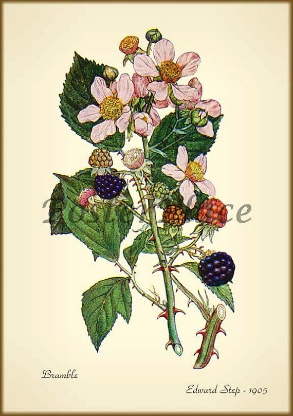 png freeuse library Blackberry drawing flower. Antique botanical print reproduction