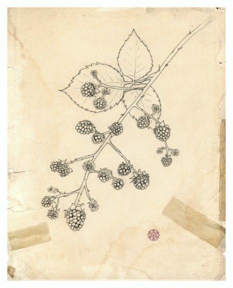 freeuse stock Blackberry drawing illustration. Botanical archival print plant