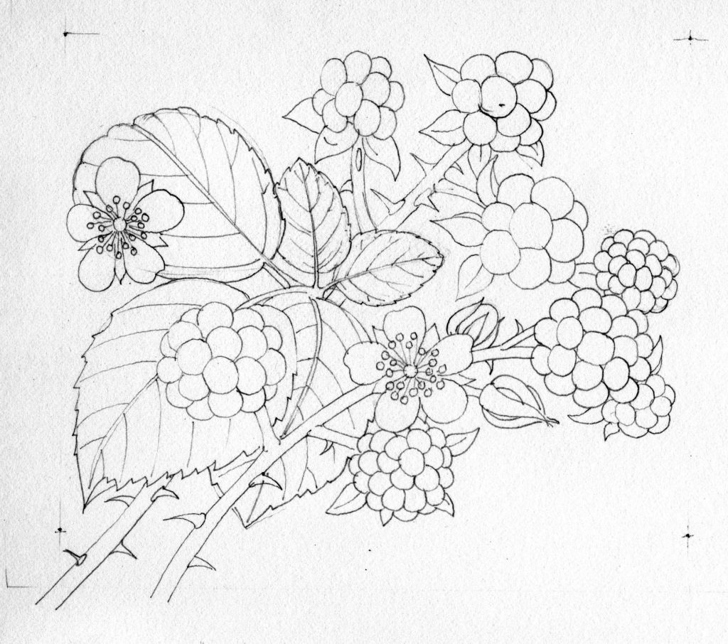 png stock Step by lizzie harper. Blackberry drawing illustration