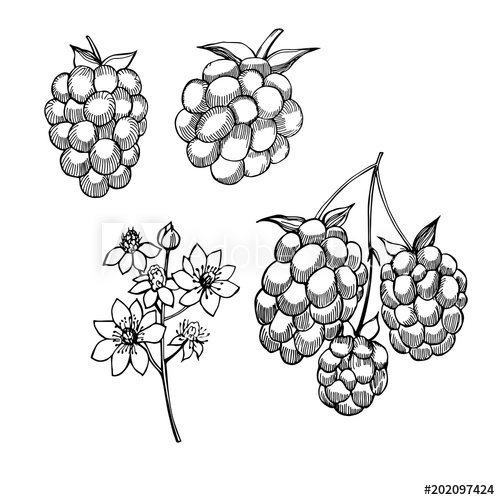 clip art transparent library Hand drawn forest berry. Blackberry drawing illustration