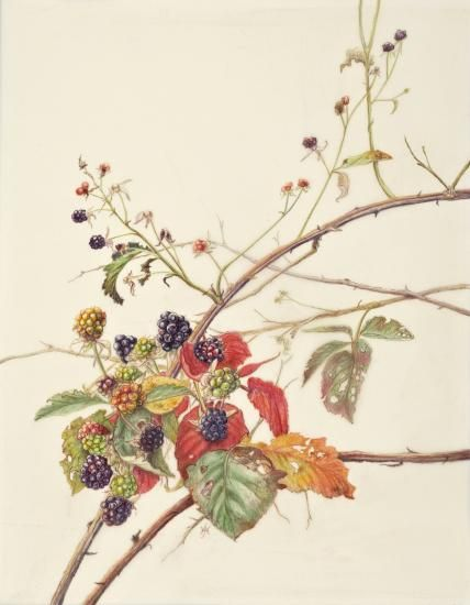 picture freeuse Blackberry drawing illustration. Bramble tattoo inspiration in
